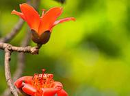 鲜红色的木棉花摄影图片