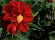 美丽动人的红色芍药花图片