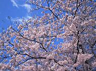 日本樱花春天浪漫绽放美图