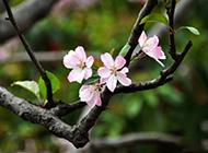 玻璃海棠花图片俏丽清雅