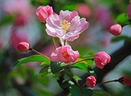 海棠花粉色花瓣唯美图片欣赏