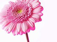 一朵粉色娇嫩的菊花高清图片