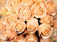 香槟玫瑰图片唯美高清壁纸