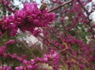 一串串美丽的紫荆花图片