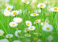 顽强朴实的野菊花图片