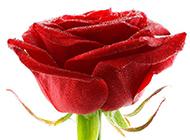 红玫瑰花图片素材高清特写