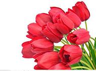 红色郁金香高清白色背景素材