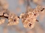樱花图片唯美背景分享