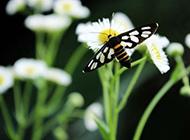 白色野菊花与飞蛾特写图片