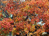 枫红似火的枫树图片