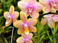 蝴蝶兰花图片大全稀有鲜花摄影素材