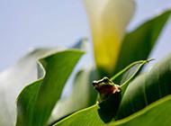 叶子上的小青蛙高清图片