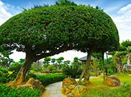 最漂亮的造型榕树图片欣赏