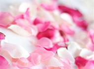 玫瑰碎花瓣清新素雅风格图片