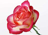 玫瑰花背景素材娇媚迷人