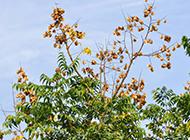 金叶栾树图片遮天蔽日