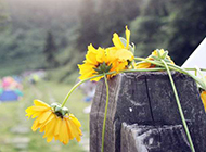 野外散落的黄色花朵