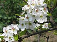 白色梨花鲜花图片素材