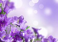 铃兰花图片唯美紫色鲜花背景素材