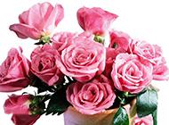 迷你玫瑰盆栽摄影素材