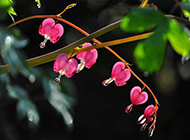 粉色荷包牡丹植物图片特写