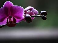 紫色蝴蝶花摄影图片