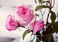 香气扑鼻的粉色玫瑰图片