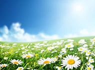 一大片白色清新野菊花图片