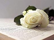 书本上的一枝玫瑰花高清图片