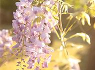 水粉紫藤花图片随风飞舞
