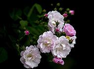 粉红色蔷薇花图片绽放美丽