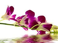低垂水面的紫色蝴蝶兰图片