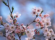 唯美樱花粉色高清背景图片
