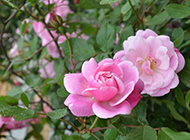 雨天娇艳盛放的粉色月季花图片