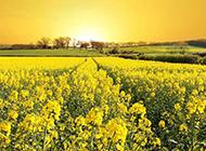 一大片金黄的油菜花地图片