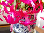 蟹爪兰娇艳花瓣图片素材