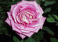 姿态动人的粉色月季花图片