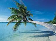 海边斜着的椰林摄影图片