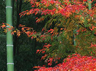 秋日的枫叶与绿竹图片
