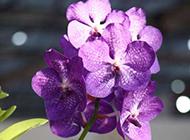 紫色的蝴蝶兰高清图片