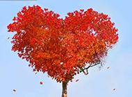 心形唯美枫树高清图片