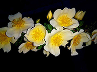 锦团花簇的栀子花图片