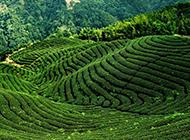 普洱茶茶山高清图片欣赏