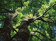 大榆树图片苍翠直冲云霄