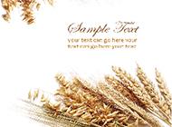冬小麦背景图片素材