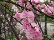 婀娜多姿的桃花图片