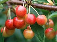 味美形娇的樱桃图片