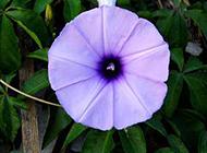 清晨纯美绽放的紫色牵牛花图片