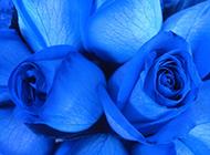 蓝色玫瑰背景图片素材欣赏