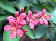 红花夹竹桃图片艳丽迷人